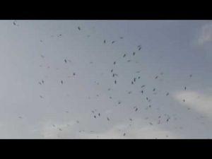 ظاهرة غريبة : تجمع طيور بلارج فوق سماء مكناس