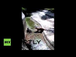 بالفيديو.. نمر يمزق جسد شاب ثمل الى أشلاء (+18)
