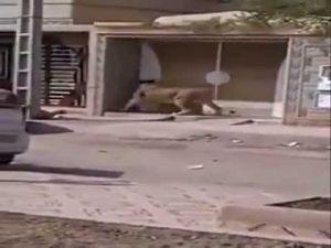 أسد يتجول حرا طليقا في مدينة السعيدية المغربية