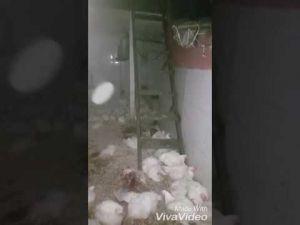 خطير ومقزز طوبات تفترس الدجاج حيا داخل رياشة ببني ملال