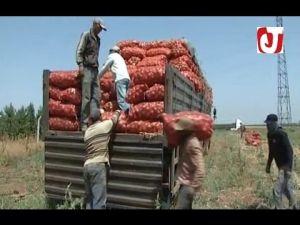 تصدير البصل من إقليم الحاجب الى الأسواق الافريقية