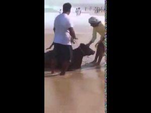 في مشهد غريب..شاطئ يلفظ أبقار عوض أسماك