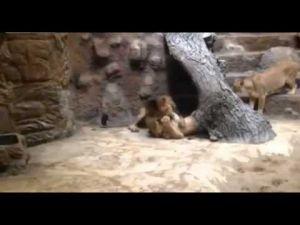 شاهد كيف قتل أسد خجول وهادئ  لبؤة في حديقة حيوان