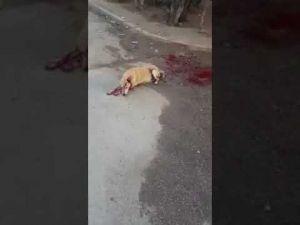 بالفديو..الكلبة لويزة تصارع الموت بحي البساتين